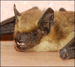 bat control Aldine