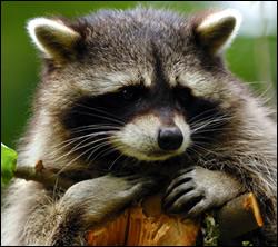raccoon control Aldine