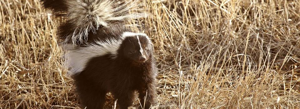 Aldine skunk control