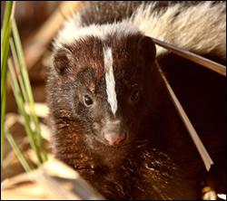 skunk control Aldine